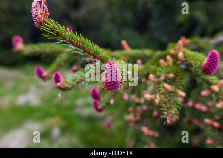 Young branch of spruce tree with conifer cones, focused on single pink beutiful new cone,High Tatras, Slovakia - Stock Photo