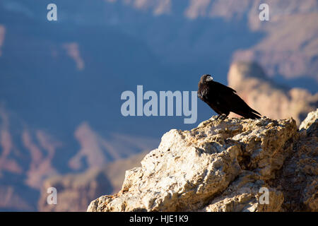 Raven perched on rock at Lipan Point, Grand Canyon National Park, Arizona, USA - Stock Photo