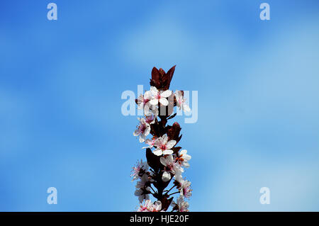 A beautiful stick of fresh flowering plum blossoms (Prunus cerasifera) against a bright blue sky. - Stock Photo