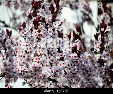 A beautiful stick of fresh flowering plum blossoms (Prunus cerasifera) against a light blue sky. - Stock Photo