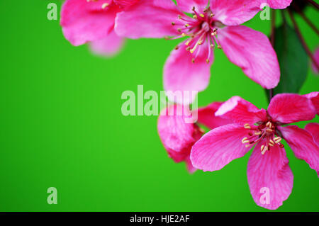 A flowering crab apple prairiefire (malus) on a natural green background. - Stock Photo