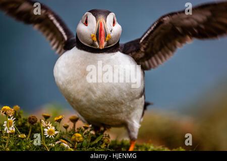Atlantic puffin spreads his wings, Skomer island, Pembrokeshire, Wales, UK - Stock Photo