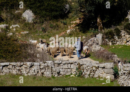 Shepherd guiding flock of sheep and goats in central Portugal - Stock Photo