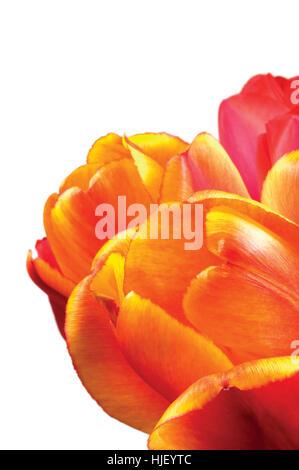 Tulip flowers, orange, red and yellow petals closeup, isolated vertical tulips macro closeup - Stock Photo