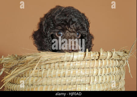 Miniature poodle, brown, puppy, 10 weeks, male, sitting in wicker basket - Stock Photo