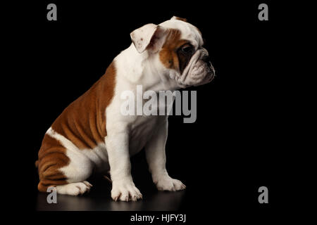 British bulldog puppy breed on isolated black background - Stock Photo