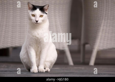 Domestic cat rescued by Sandos Caracol Eco Resort, beside beach chairs - Stock Photo