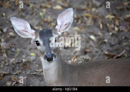 White-tailed deer (Odocoileus virginianus) in Mexico - Stock Photo
