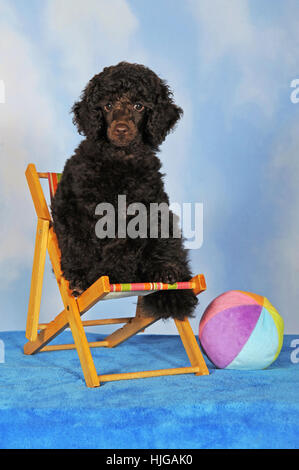 Miniature poodle, brown, puppy, 10 weeks, male, sitting in deck chair - Stock Photo