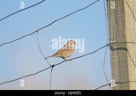 Little Bunting (Emberiza pusilla), a rare migrant to Britain, perched on a wire fence in Shetland, against a blue - Stock Photo