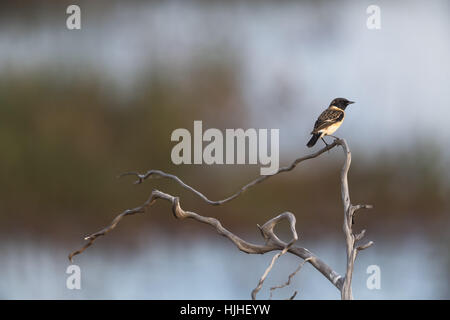 Siberian Stonechat or Asian Stonechat (male) Saxicola maurus - Stock Photo
