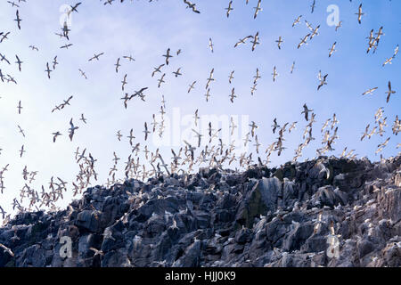 UK, Scotland, East Lothian, Bass Rock with a colony of Northern Gannets - Stock Photo