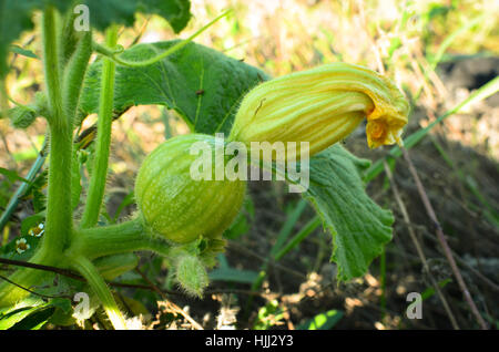The young garden is growing zucchini, it still has a yellow flower. - Stock Photo