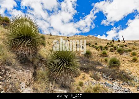 Peru, Andes, Cordillera Blanca, Huascaran National Park, Puya raimondii - Stock Photo