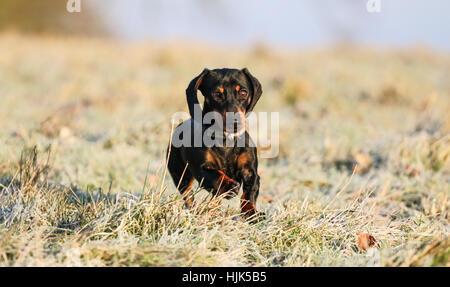 Miniature Dachshund Running - Stock Photo