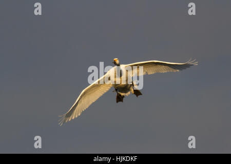 Bewick's Swan (Cygnus columbianus) in flight towards camera - Stock Photo