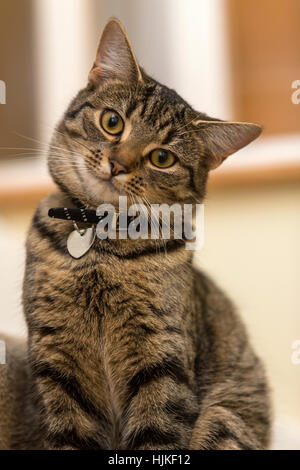 Female bengal cat, kitten, tabby, head cocked on one side, looking cute and adorable - Stock Photo