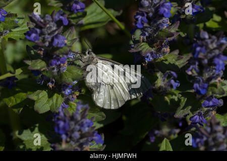 butterfly on the blue flowers in nature, note shallow depth of field - Stock Photo