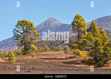 Tenerife volcano El Teide national park with pine tree forest on lower slopes - Stock Photo
