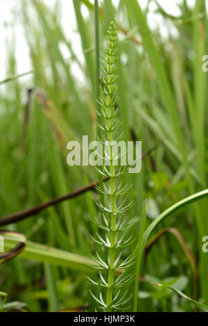 Mare's-tail, Hippuris vulgaris - Stock Photo