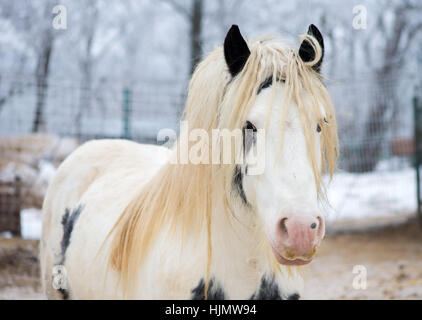 White gypsy horse - Stock Photo