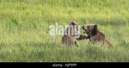 Grizzly bear sow and cub play fighting in Yellowstone National Park - Stock Photo