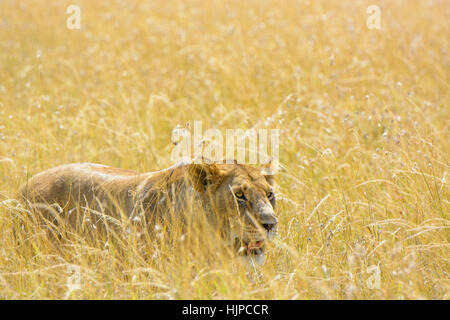 Adult wild African Lioness, Panthera leo, stalking prey camouflaged in long grass, Masai Mara, Kenya, Africa, Lioness - Stock Photo
