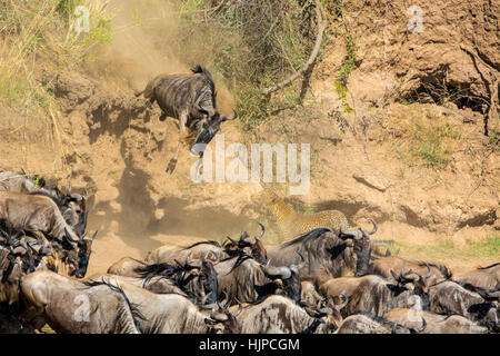 African Leopard, Panthera pardus, stalking, hunting Wildebeest jumping, Connochaetes taurinus, Great Migration, - Stock Photo