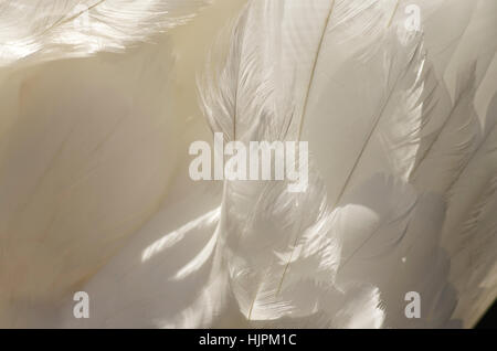 Detail of feathers on a swan's back - Stock Photo