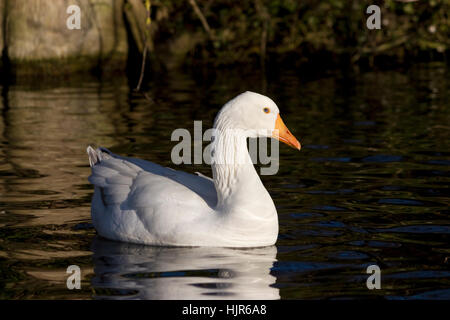 Wildlife: Emden goose. - Stock Photo