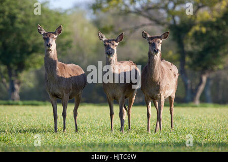 Red Deer (Cervus elaphus). Three hinds. At 'attention'. Caught in the open, photographed from 'car window hide'. - Stock Photo