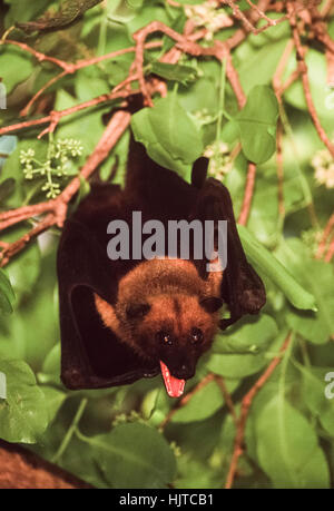 Indian flying fox or Greater Indian fruit bat,(pteropus giganteus), roosts in a tree during the day,Rajasthan,India - Stock Photo