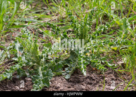 Acker-Kratzdistel, Blatt, Blätter, Ackerkratzdistel, Kratzdistel, Distel, Cirsium arvense, Creeping thistle, Canada - Stock Photo