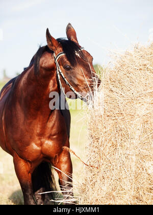 eating hay bay horse from haystack in field - Stock Photo
