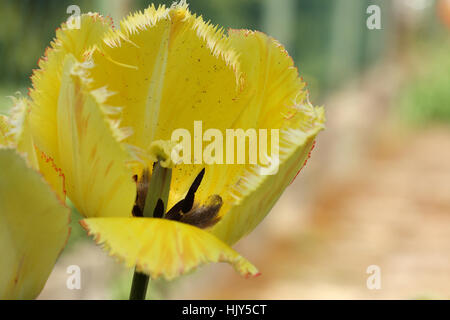 Spring flower of yellow  fringed tulip on blurred background - Stock Photo