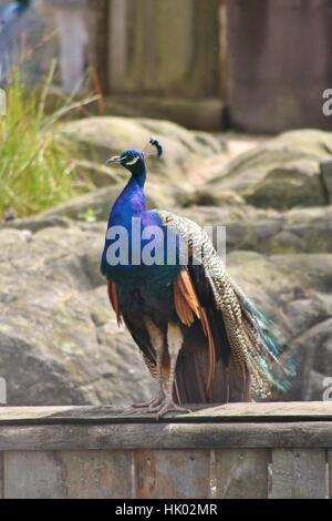 A peafowl enjoying the few over the zoo - Stock Photo