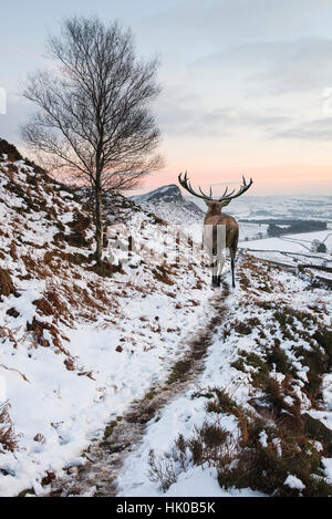 Beautiful red deer stag in snow covered mountain range Winter landscape - Stock Photo