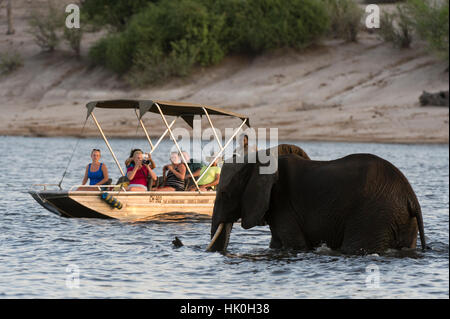 Tourist watching an African elephant (Loxodonta africana), crossing the river Chobe, Chobe National Park, Botswana - Stock Photo
