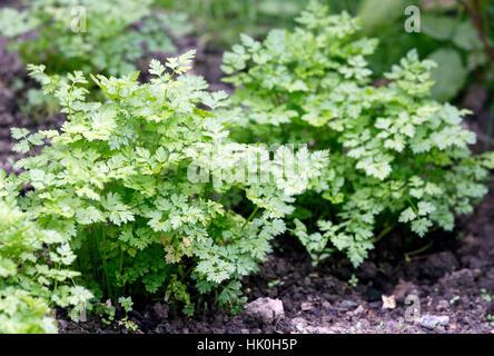 Garden Chervil Anthriscus cerefolium Stock Photo Royalty Free