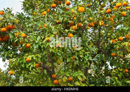 bitter orange, also known as Seville orange, sour orange, bigarade orange, and marmalade orange, (Citrus aurantium) - Stock Photo