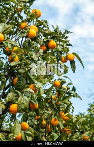 orange tree 'Tarocco', orange 'Tarocco', Citrus sinensis 'Tarocco', France, Menton - Stock Photo