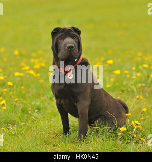 sharpei - Stock Photo