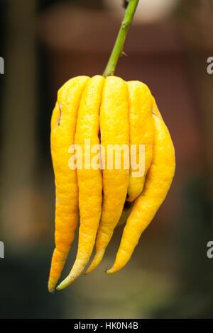 Fingered citron, Citrus medica 'Buddha's Hand' = Citrus medica var. sarcodactylis. - Stock Photo