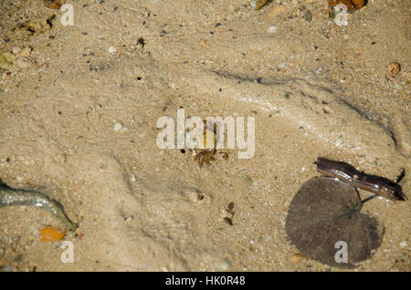 Fiddler crabs or Ghost crabs walking on the beach go to crab holes in the ocean while sea water level decreased at Koh Yao Noi in Phang Nga, Thailand Stock Photo