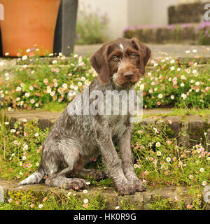 german wirehaired pointer puppy docked tail - Stock Photo