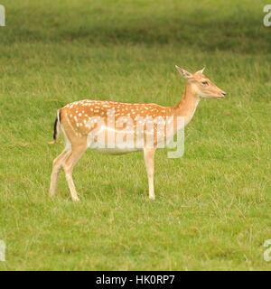 red deer calf - Stock Photo