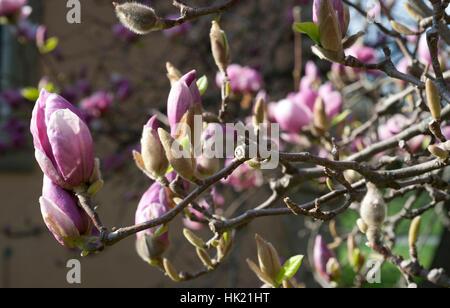 spriesende Magnolienknospen im Sonnenlicht - Stock Photo