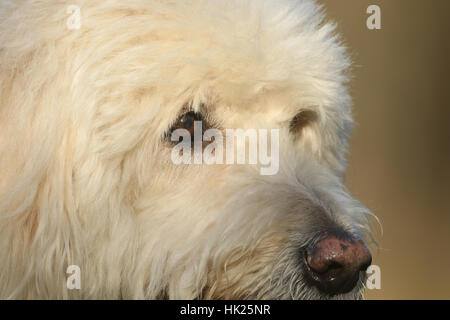 A headshot of a Labradoodle dog. - Stock Photo