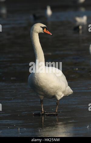 A Mute Swan (Cygnus olor) walking on a frozen lake. - Stock Photo