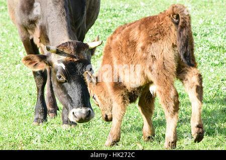 Cows at Churchill Heritage Farm, Churchill Island, Victoria, Australia - Stock Photo